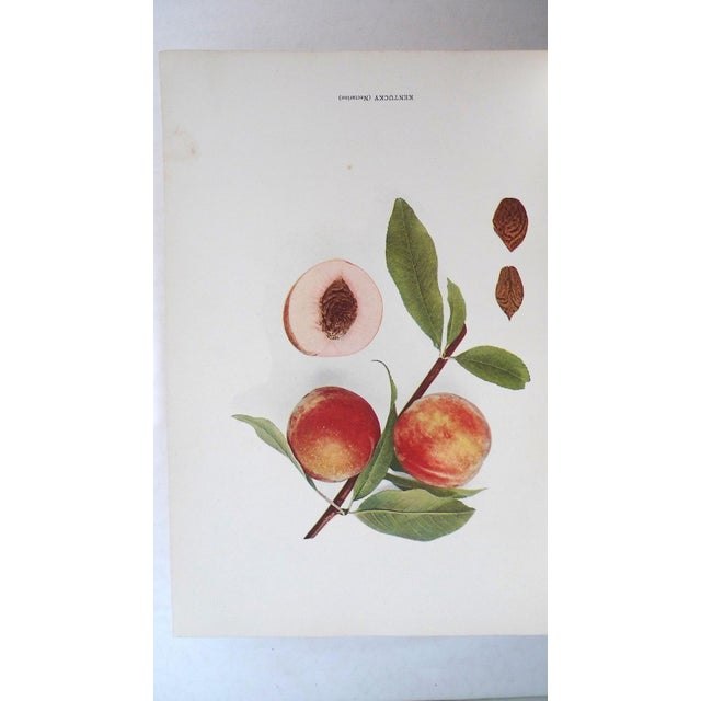 1910s 1910s Large Illustrated Book, Hendrick's the Peaches of New York, 1st Edition For Sale - Image 5 of 6