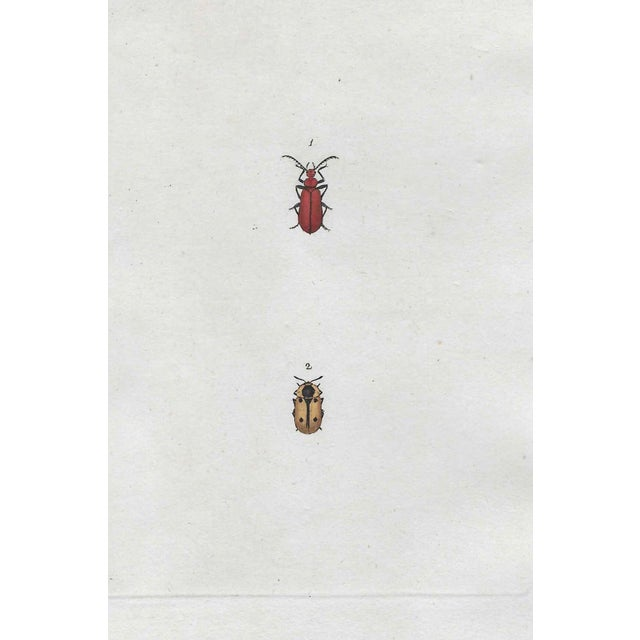 Antique Insect Handcolored Engraving For Sale