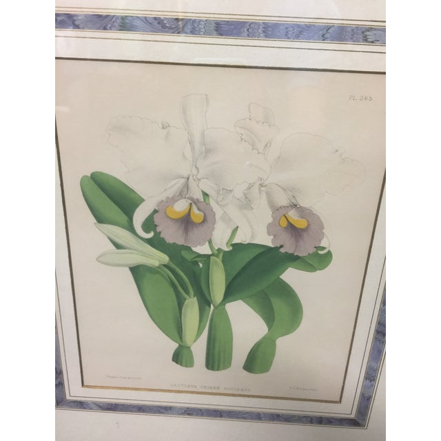 "Lovely framed and matted vintage print of Aerides Lawrencie (orchids) by Fitch. This measures 22"" x 19"", the image size is..."