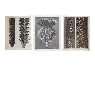 Vintage Botanical Photogravures-Karl Blossfeldt-Set of 3 For Sale