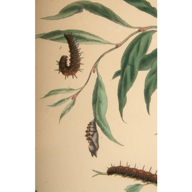 Plate Xii, Camberwell Beauty, Large Magpie Moth, Moses Harris, 1785 For Sale - Image 4 of 7