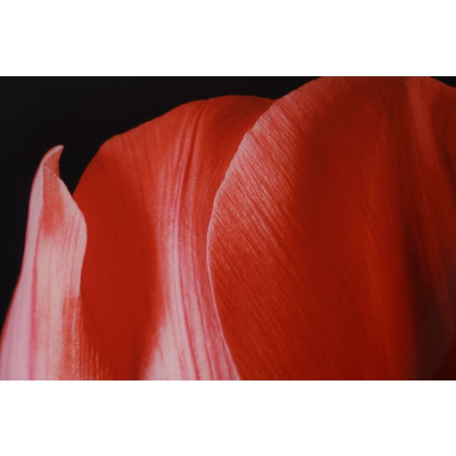 """Red Tulip on Black"" Photograph - Image 6 of 6"