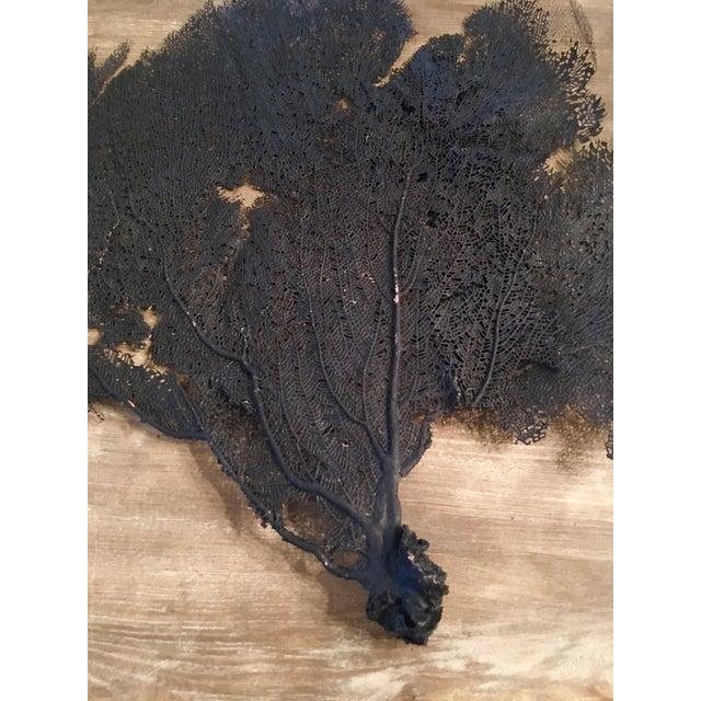 Natural Black Coral Sea Fan Specimen - Image 3 of 5