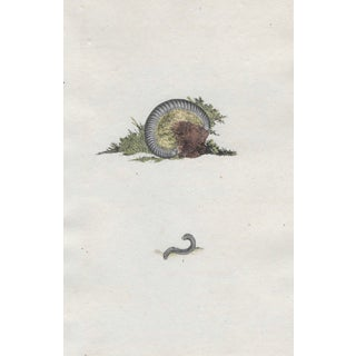 19th Century Millipede Hand Colored Engraving For Sale