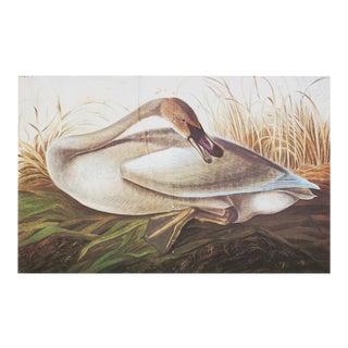 Audubon Lithograph of Swan, 1966