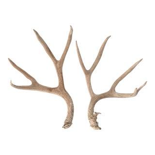 Natural Shed Deer Antlers - A Pair