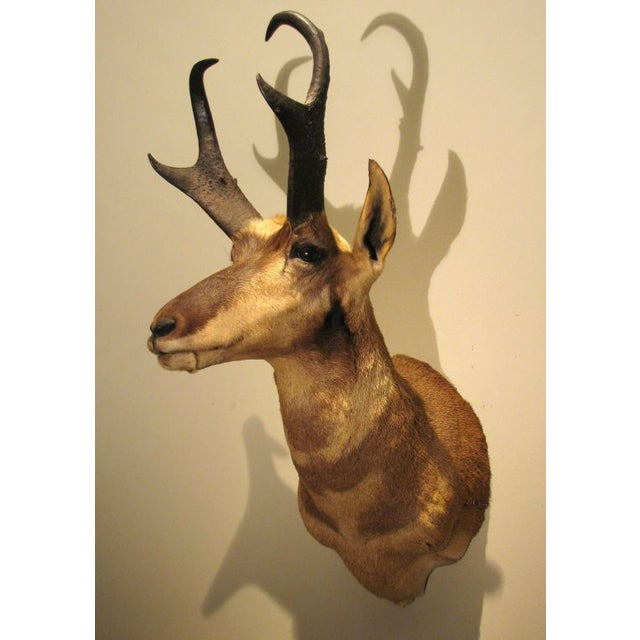 North American Antelope Trophy For Sale - Image 4 of 5