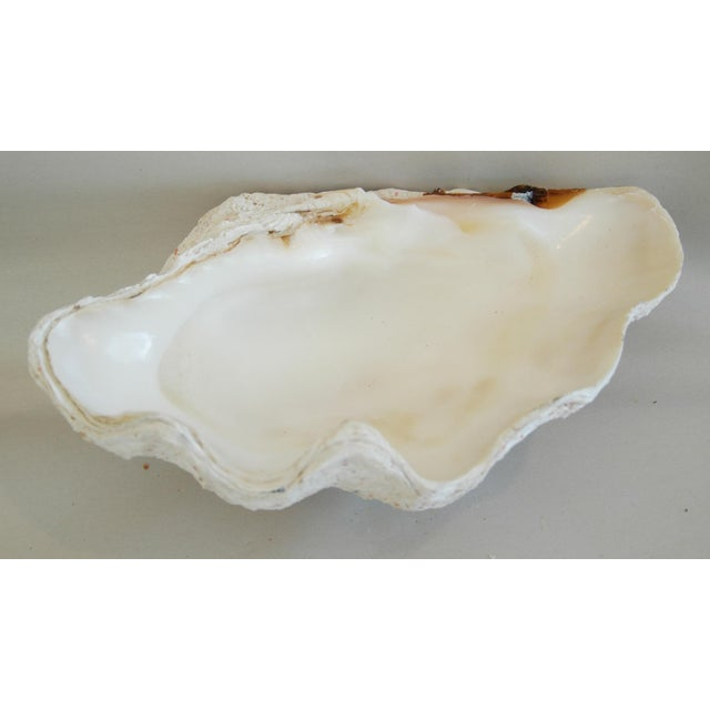 Antique Natural Saltwater Clamshell - Image 10 of 10
