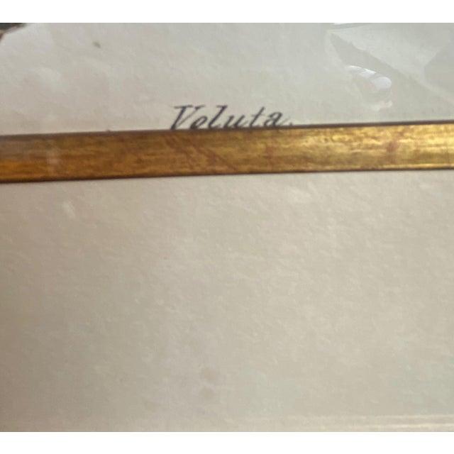 Antique Veluta Shell Engraving in Gilt Frame For Sale - Image 4 of 6