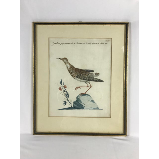 Late 18th Century Calidris Gambetta Bird Print by Saverio Manetti For Sale In Portland, OR - Image 6 of 6