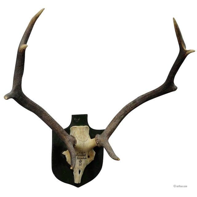 Vintage Black Forest Deer Trophy From Salem - Germany, Baerenkopf 1956 For Sale - Image 4 of 4