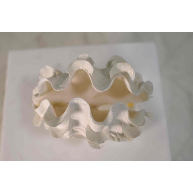 Frilled Conch Shell Sculpture on Clear Acrylic Base For Sale - Image 11 of 13