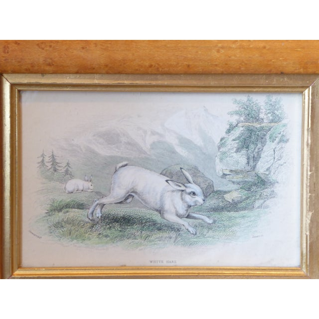 """English mid-19th century hand colored engraving titled, """"White Hare"""" in bird's eye maple frame with gold filet liner,..."""