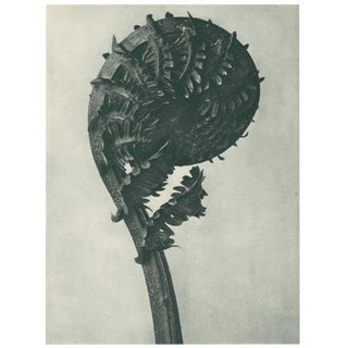 1928 Contemporary Original Photogravure by Karl Blossfeldt - N45 For Sale