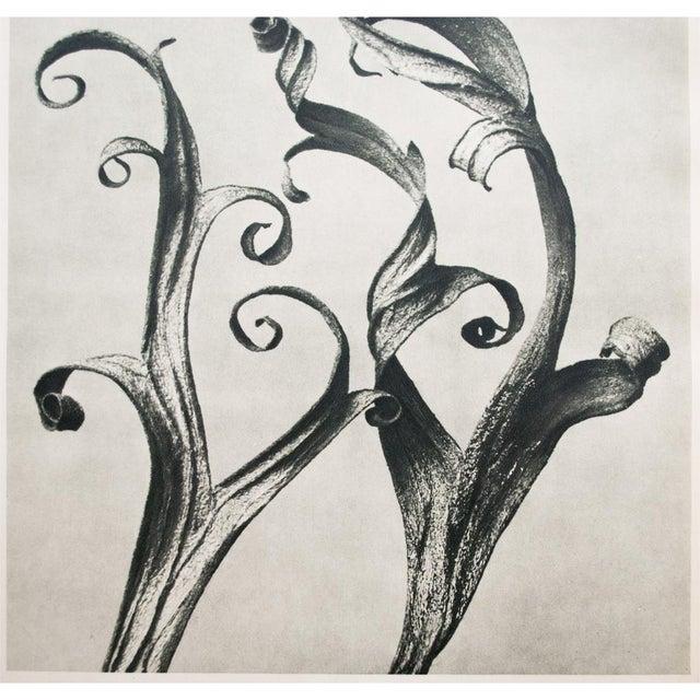 1935 Blossfeldt Photogravure N39-40 - Image 7 of 11