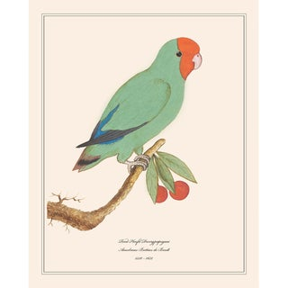 1590s Red-Headed Lovebird Print by Anselmus Boëtius De Boodt For Sale
