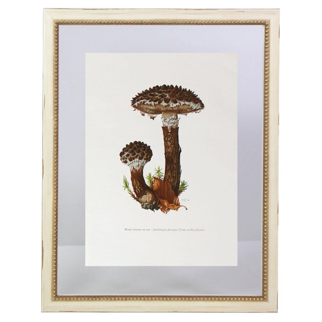 """Antique French Botanic Mycology Study Lithograph - Strobilomyces Strobilaceus """"Old Man of the Woods"""" Mushroom For Sale"""