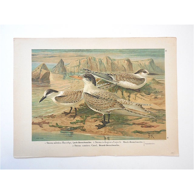 Cabin Antique Bird Lithograph, Water & Shore Birds For Sale - Image 3 of 3