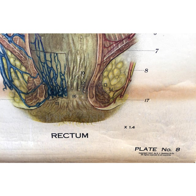 American 1947 Vintage Denoyer Geppert Digestive System Pull Down Anatomical Chart For Sale - Image 3 of 4