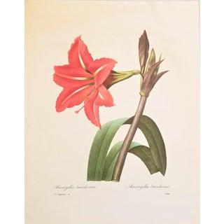 Pierre-Joseph Redouté Reproduction Red Amaryllis Botanical Print For Sale