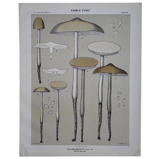 Antique Gray Mushroom Chromolithograph - Image 1 of 3