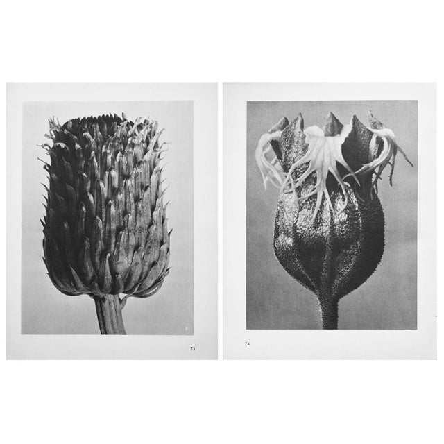 An exquisite black-and-white two-sided photogravure by German Photographer Karl Blossfeldt (June 13, 1865 – December 9,...