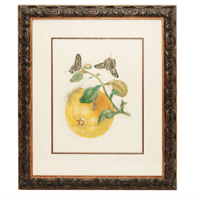 18th Century Antique Maria Sydilla Merian Hand Colored Engraving For Sale In Nashville - Image 6 of 6