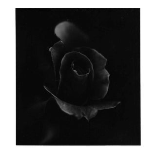 Still lIfe of a Rose Photograph by Garo For Sale