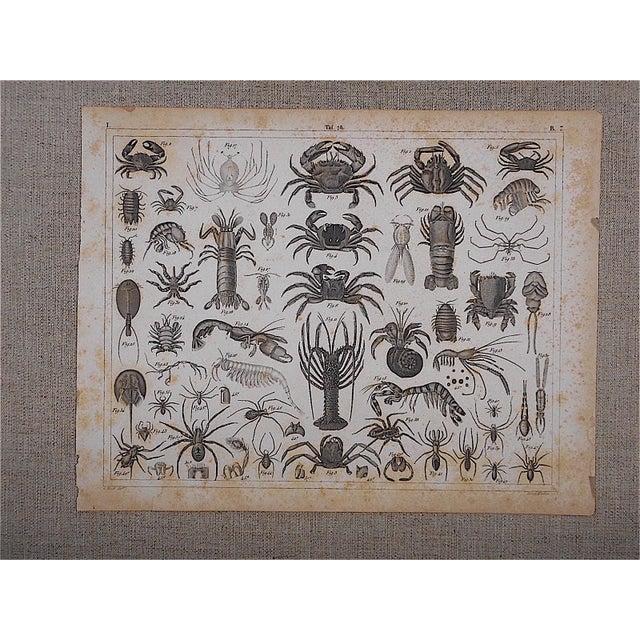Antique Crustaceans Lithograph - Image 3 of 3