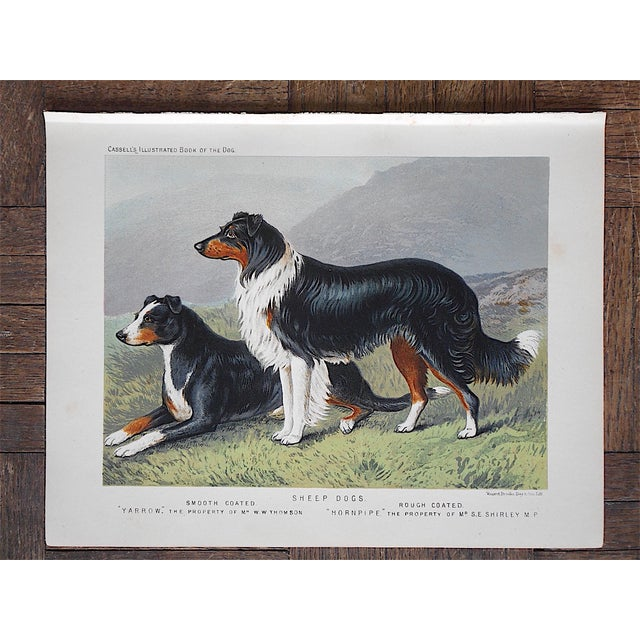 Antique Dog Lithograph - Sheep Dogs - Image 2 of 4