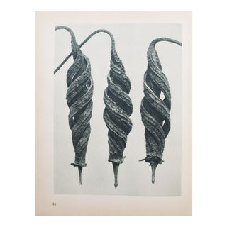 Karl Blossfeldt Two-Sided Photogravure
