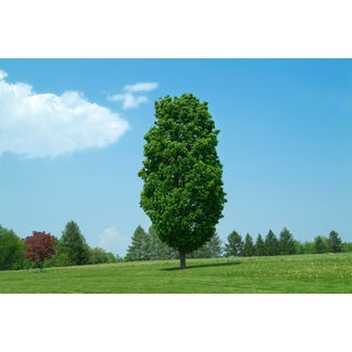 """""""Lone Tree"""" Contemporary Photograph by John Manno For Sale"""