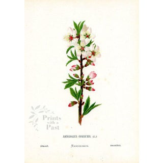 Wildflowers of the Middle East - Almond, 1875 Print For Sale