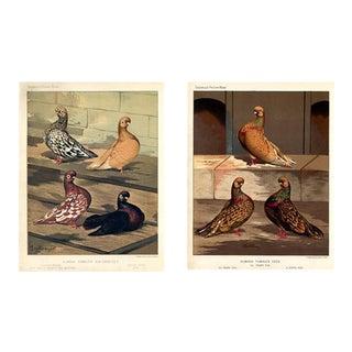 Victorian Pigeon Prints, Pair For Sale