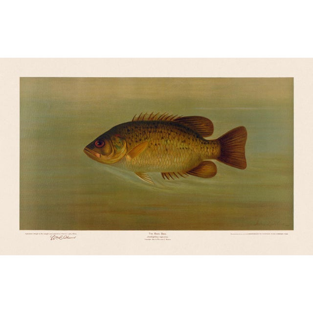 2020s American Fish 34 the Rock Bass by Harris CFA Edition Giclee Print For Sale - Image 5 of 6