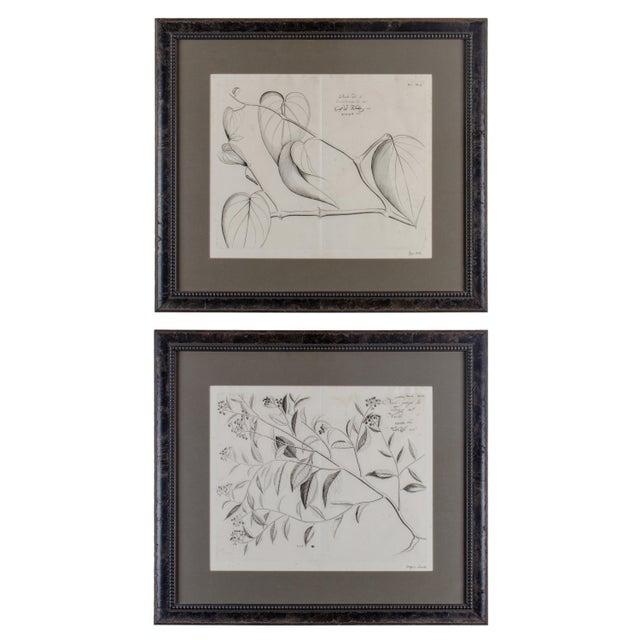 Hendrik Van Rheede Botanical Engravings, 17th Century - a Pair For Sale