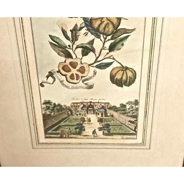 18th Century Antique Volkhammer Botanical Engravings - A Pair For Sale - Image 9 of 12