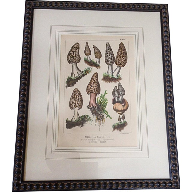 Botanical Lithograph of Moral Mushrooms - Image 1 of 4