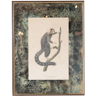 "Jean Baptiste Audebert 18th C. ""Oustiti Monkey"" Print For Sale"
