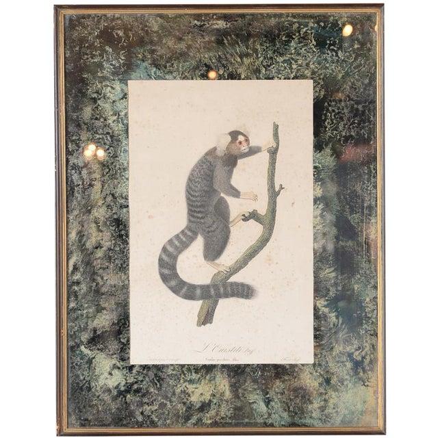Jean Baptiste Audebert 18th C. Print of a Monkey - Image 1 of 6