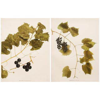1900s Original Fruits Photogravures by Hedrick - Set of 2 For Sale