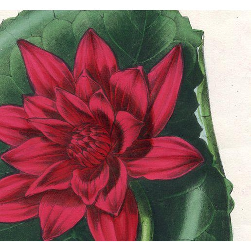 """Original hand-colored lithograph of the """"Red-flowered Water Lily"""" from a 1840s volume of the """"Magazine of Botany""""..."""