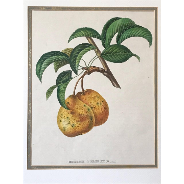 "Original antique French lithograph of Pears Madame Durieux variety. Print 14""L x 11""W, matting window: 8"" x10"", overall..."