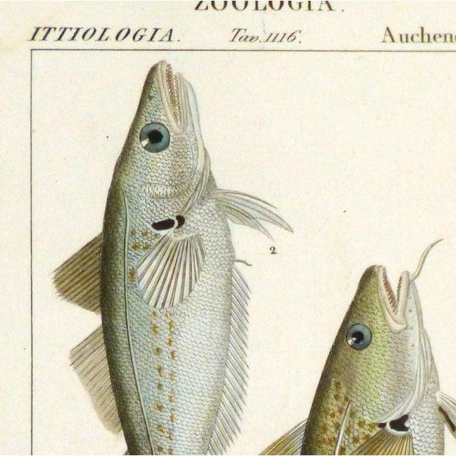 Freshwater Fish Engraving Print, C. 1830 - Image 2 of 4
