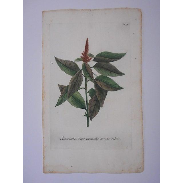 This is a botanical mezzotint etching by Johann Wilhelm Weinmann from the 1700s. Johann Wilhelm Weinmann (Germany...