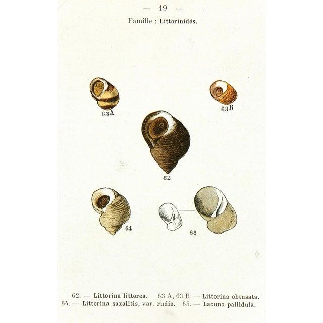 1913 Antique Seashells Decorative Print For Sale