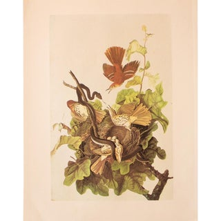 1960s Cottage Lithograph of Brown Thrasher by Audubon For Sale