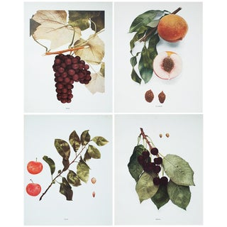 1900s Fruits of Ny Large Photogravures by Hedrick - Set of 4