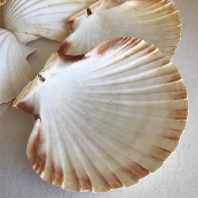 Natural Sea Shells - Set of 15 - Image 7 of 11
