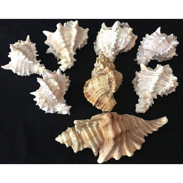 Murex Shell Lot - Set of 8 Shells For Sale - Image 11 of 12
